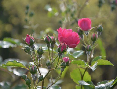 rosebuds rosebush nature