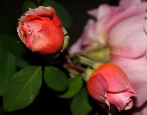 rosebuds flowers pink flower