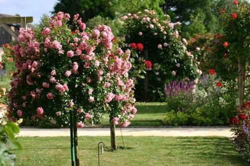 rosebush rose bud garden