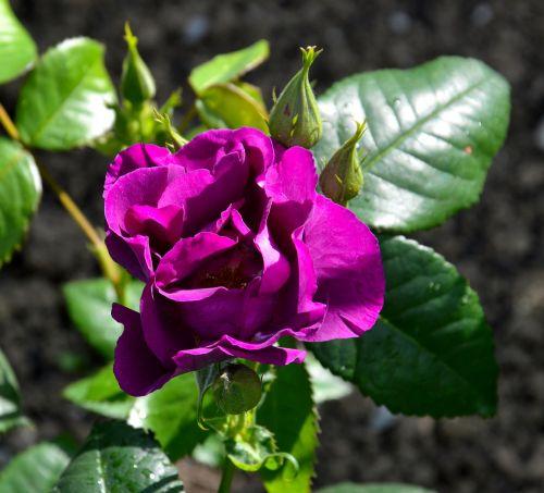 rosebush pink garden