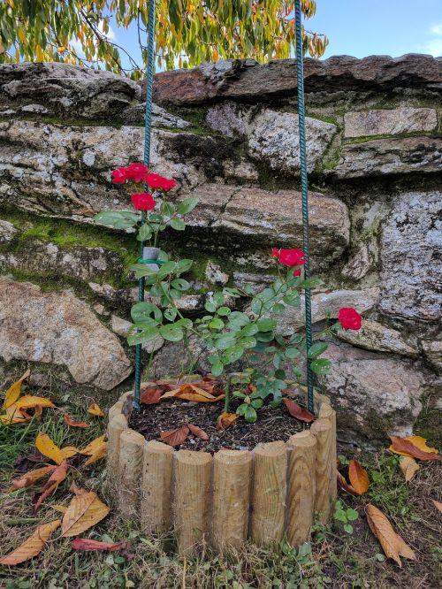 rosebush flowers decoration
