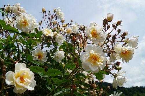 rosebush rose bloom flower