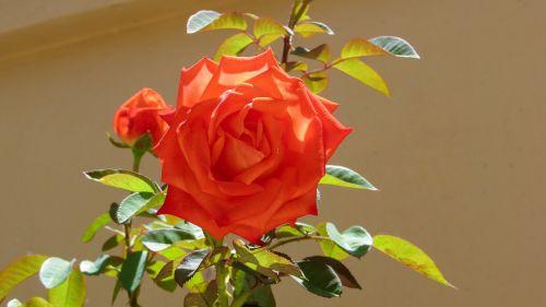 rosebush rose bush pink-orange