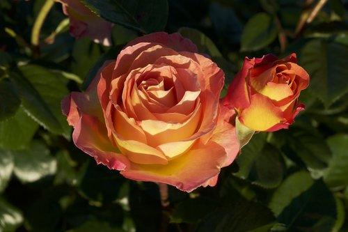 rosebush  flower  pink