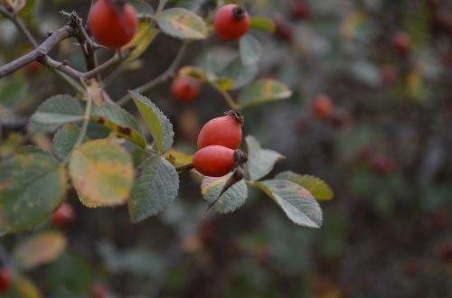 rosehip cranberry green