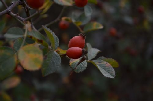 rosehip cranberry green