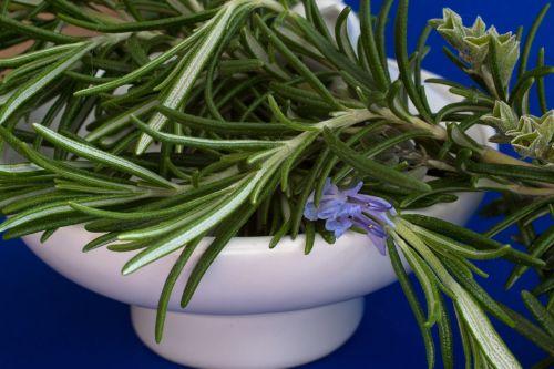 rosemary culinary herbs herbs