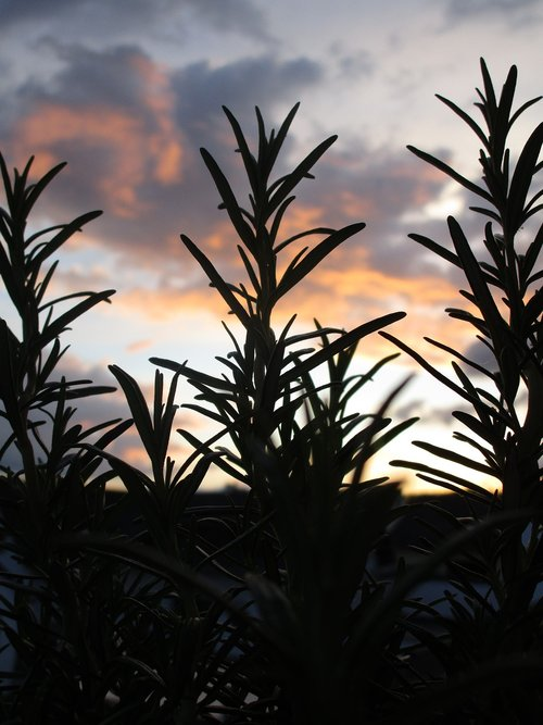 rosemary  shadow  sunset
