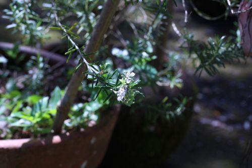 rosemary flower green