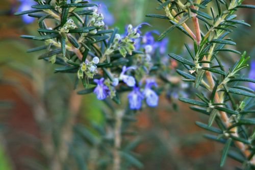 Rosemary Twigs And Buds