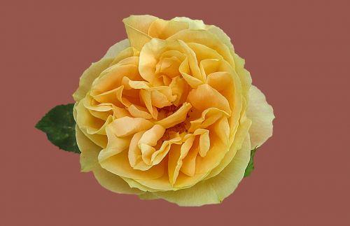 rose rose garden flower