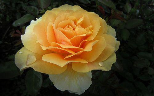 rosengarten bad kissingen rose city bad kissingen rose garden
