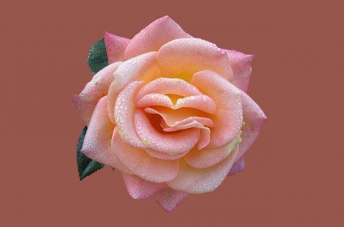 rosengarten bad kissingen rose city bad kissingen rose