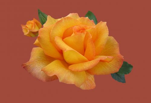 rosengarten bad kissingen rose city bad kissingen floribunda