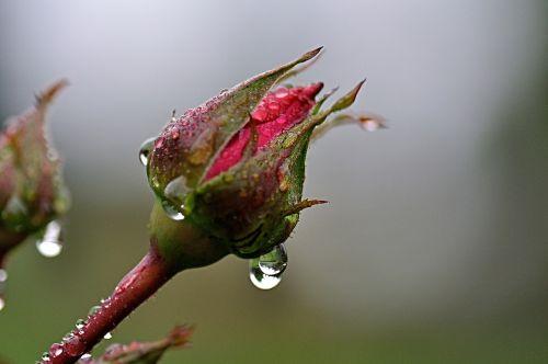rosenknopse rain raindrop