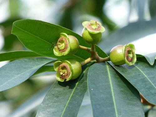 rosenpfel fruits tree