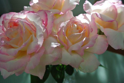 rožės,taika,rožinė gėlė,geltona gėlė,balta gėlė,gėlė,puokštė,gėlių,gamta,meilė,romantika,valentine,balta,romantiškas,Vestuvės,rožinis,stiebas,žalias
