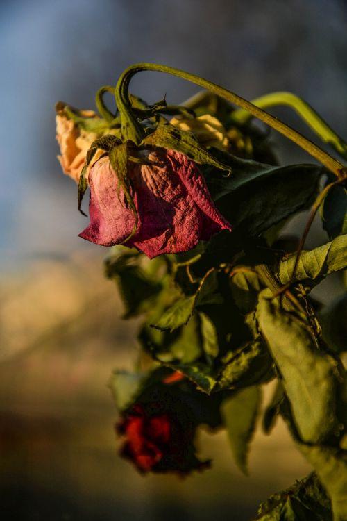 rožės,sausas,miręs,senas,gėlė,gamta,džiovintas,augalas,žiedlapis,nuvalytas,nudrus,nudrus