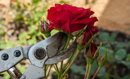 roses secateur size