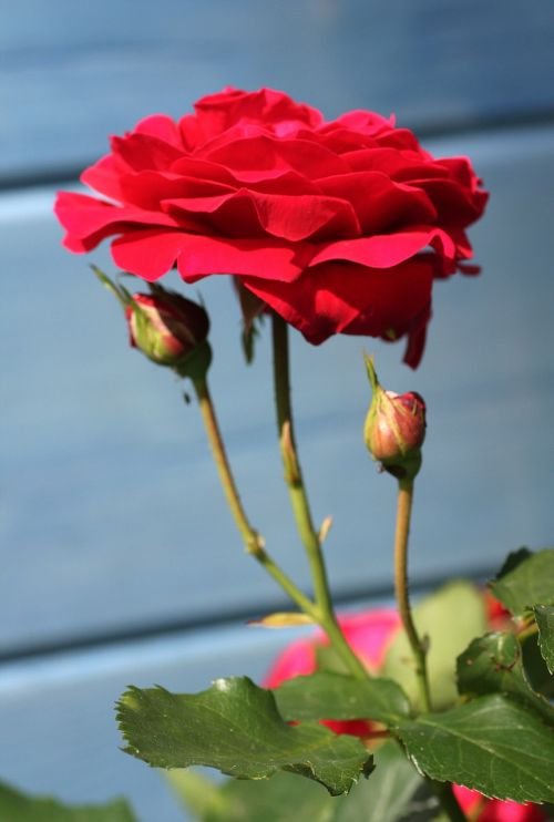 roses rosebuds garden