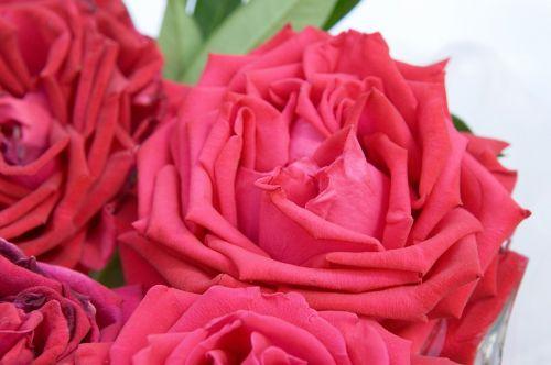 roses red roses rose flower