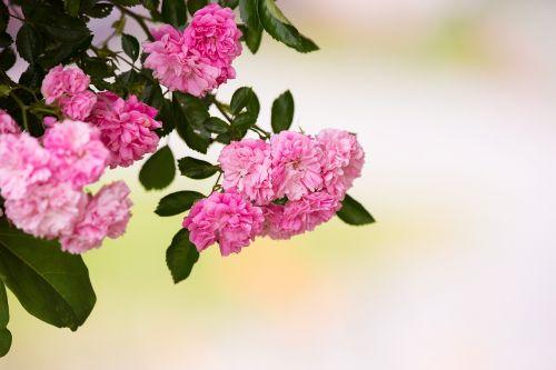 roses pink pink roses