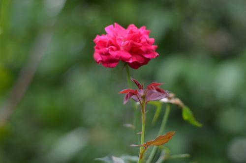 roses flower pink