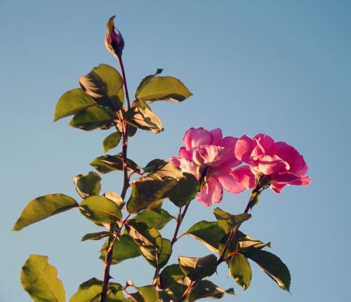 roses pink roses spring