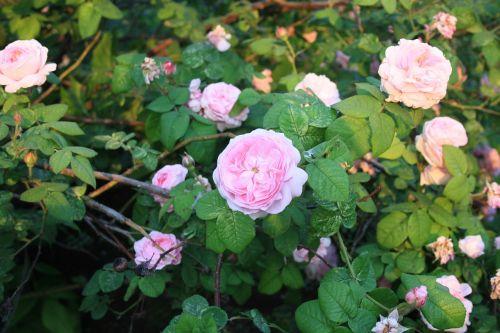 roses flowers flower bed