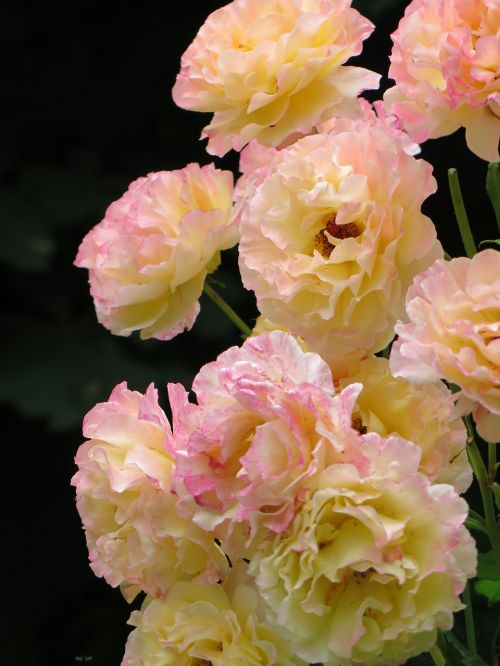 roses gloria dei yellow