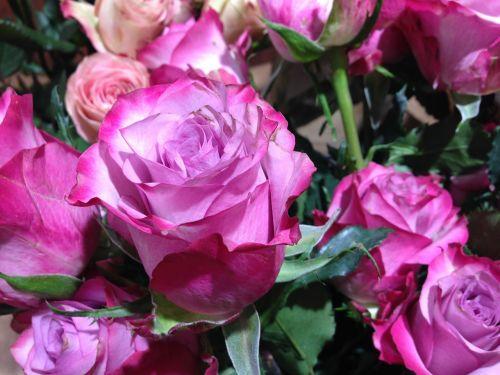 roses flower blossom