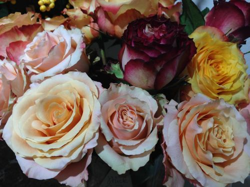 roses diversity colorful
