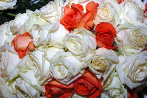 roses wild rose