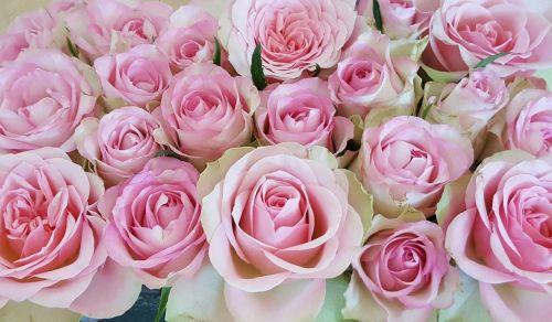 rožės,rožinis,išaugo žydėti,gėlės,žiedas,žydėti,rožinė rožė,rožinės rožės,rožių žydėjimas,floribunda,gamta,žiedlapiai,Uždaryti,augalas,romantiškas,žydėti,meilė,romantika,kvapus rožė