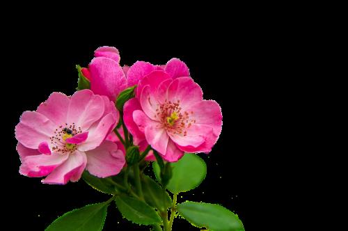 roses flowers pink flowers