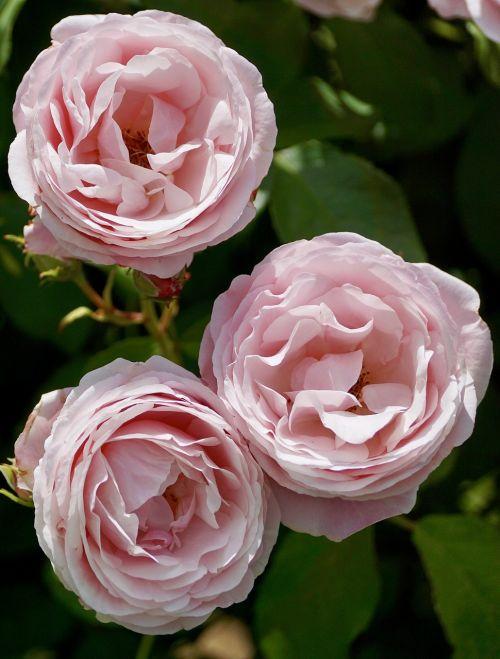 roses pink pink rose