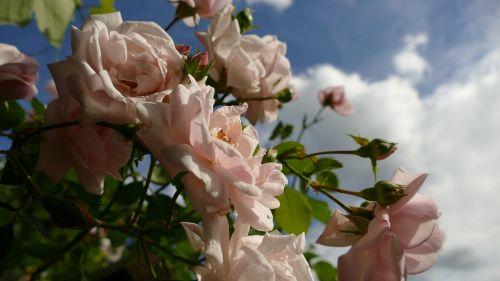 rožės,rožinės rožės,išaugo žydėti,sodo rožės,alpinizmas pakilo,vasara