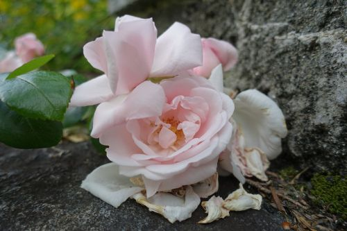roses old roses vanishing