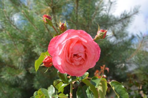 roses rosebuds petals