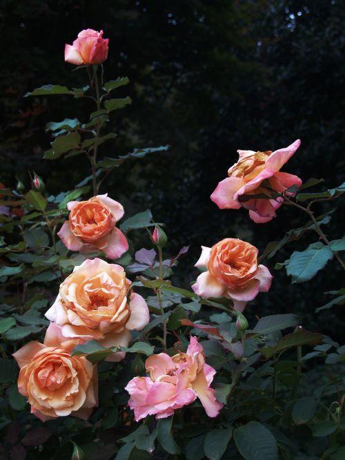 roses summer garden