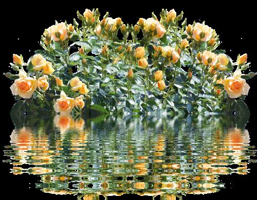 roses rose bush romantic