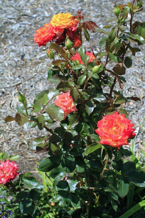 roses flowers blooms