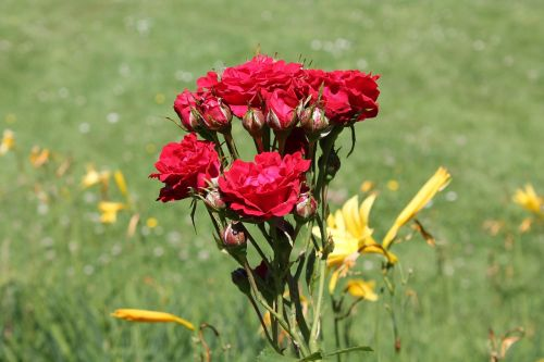 roses flowers rosebush