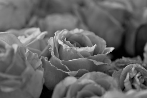 roses,flowers,bloom,flower,plant,black - and-white,close,white,black,black and white recording,flowers photography,black and white photo,petals,nature