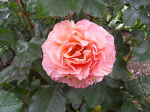 roses pink flowers