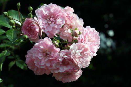 roses florets pink