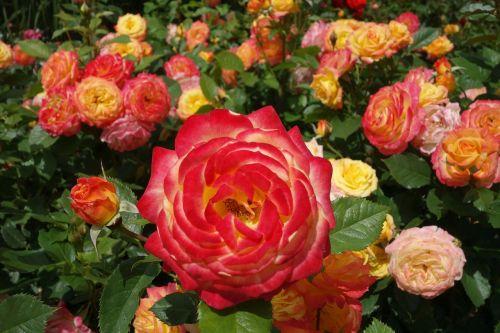 roses pink orange