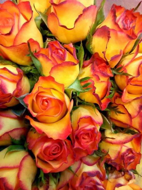 roses yellow red