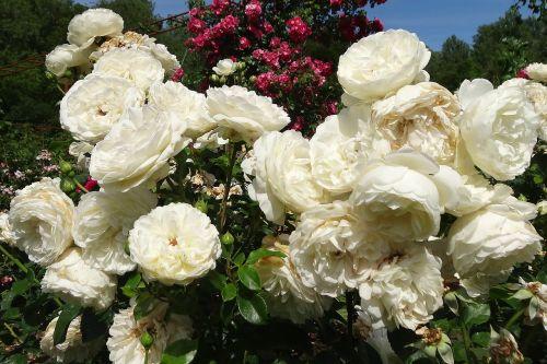 roses white flower
