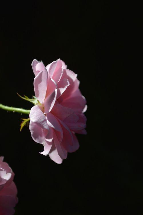 roses lovely day